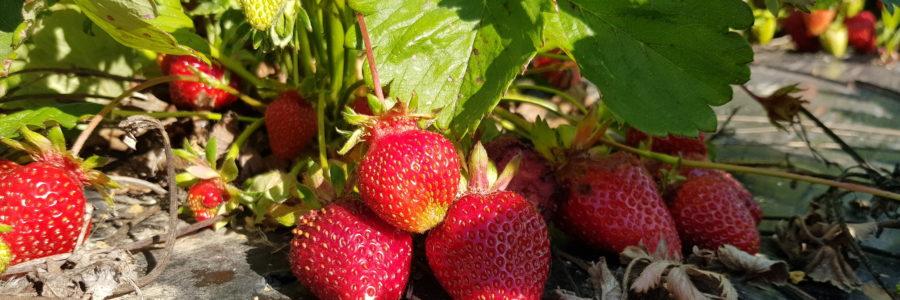 Erdbeerfeld selber pflücken