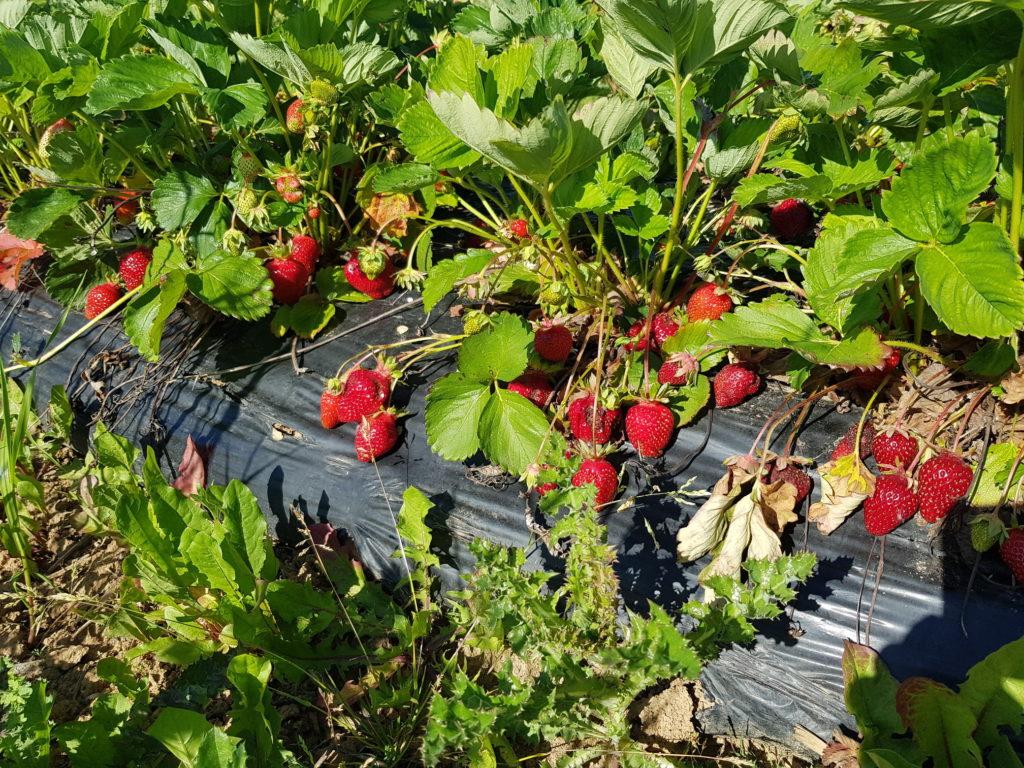 Erdbeeren selberpflücken Limburg
